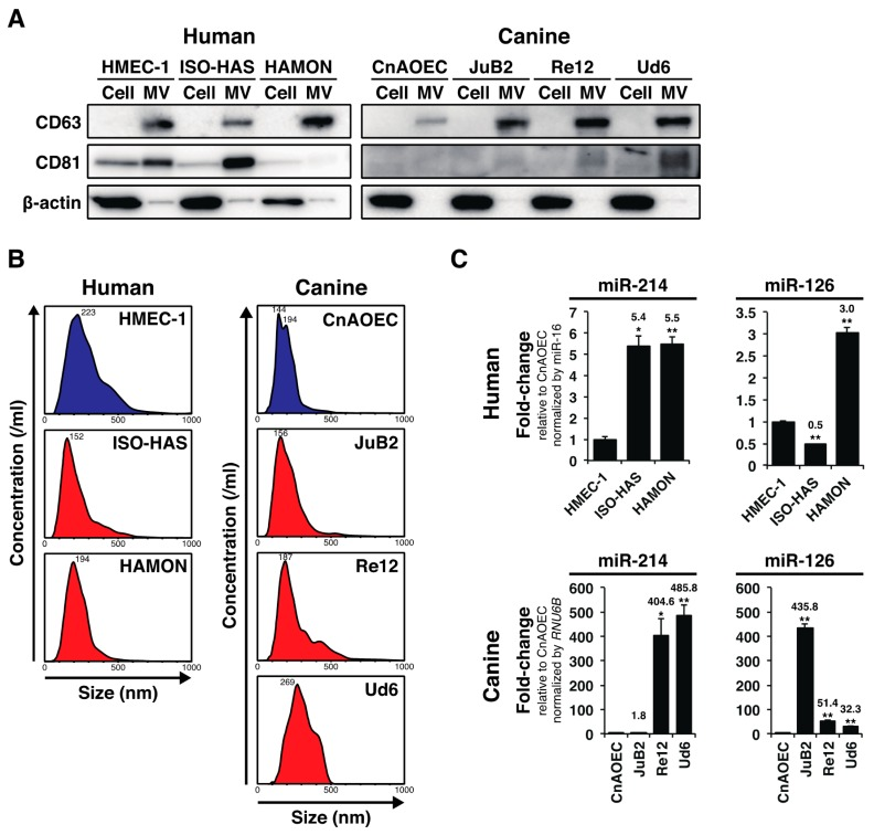 AS and HSA cell lines over-secreted miR-214 and miR-126 via MVs. ( A ) Immunoblotting for MV-markers: CD63 and CD81. The nanoparticles from all cell lines expressed CD63 or CD81 although CD81 was absent or weakly detected in MVs derived from HAMON, CnAOEC, JuB2, and Re12. β-actin was used as a negative control for excluding contamination by cellular contents; ( B ) Nanoparticle tracking analysis for AS and HSA cell lines and control ECs. The peaks of MV diameters showed a range of 144–269 nm, indicating that AS, HSA cell lines and control ECs mostly secreted MVs having a diameter of over 100 nm; ( C ) Quantitative measurement of miR-214 and miR-126 in the MVs from the conditioned media from AS, HSA cell lines and control ECs. The levels of miR-214 were significantly increased in the conditioned media of AS and HSA cell lines compared with those for the control cell lines. The levels of miR-126 were also increased likewise, except in the case of ISO-HAS. The degree of increase in canine cell lines was dramatically higher than that in human cell lines. All data are presented as the mean of triplicate experiments with error bars indicating the s.e.m. (Unpaired two-tailed t -test; * p