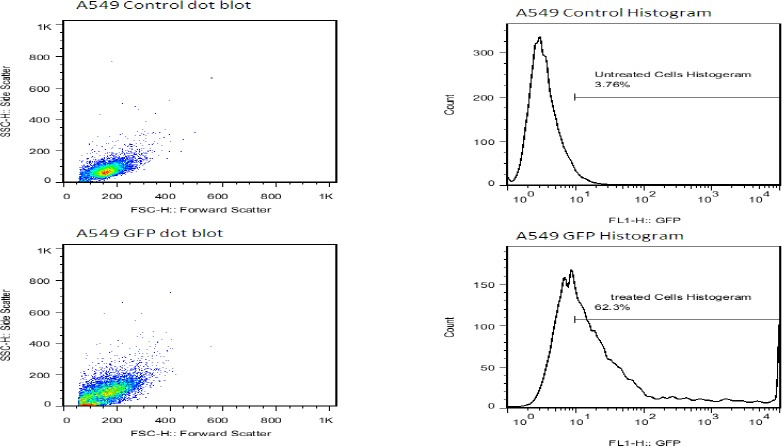 Determination of transfection efficiency of <t>pCMV6-AC-GFP</t> vector using flowcytometry. Right: detection of transfection efficiency by flowcytometry. Transfection efficiency was maintained at 60%, 48 hr post-transfection. Left: dot blot flowcytometry after 48 hr. High efficiency of transfection with fluorescent GFP (green) in A549 cells was easily identified for 48 hr post-transfection (×100). Green fluorescence intensities (FL1-H) are indicated on the x axis, and cell counts are indicated on the y axis. The cytometric analysis was performed for 2 × 10 4 events