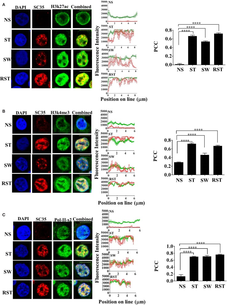 """Interplay between SC35p, histone PTMs, and RNA-Pol-II ser2 in the Jurkat T cell model . Jurkat T cells stimulated as described in the section """" Materials and Methods """" (NS, no stimulation; ST, stimulation; SW, stimulus withdrawal; RST, re-stimulation) were fixed and probed with a primary mouse antibody to a phospho-epitope of human SC35 and primary rabbit antibody to H3K27ac (A) , H3k4me3 (B) , or RNA-Pol-II ser-2 (C) followed by visualization with a secondary goat antibody to mouse immunoglobulins conjugated to Alexa-Fluor 568 and secondary antibodies to rabbit immunoglobulins conjugated to Alexa-Fluor 488, respectively. Confocal laser scanning microscopy was used to measure expression of SC35p and H3K27ac, H3k4me3, or RNA-Pol-II-ser-2. Representative images for each stimulation point are shown with a 10-μm scale bar. Channels were overlaid to examine colocalization of the antibody targets. Pearson's co-localizaton coefficient (PCC) and mean fluorescent intensity line scans were calculated with Fiji-ImageJ as described in the section """" Materials and Methods ."""" Data represent the mean ± SEM, n = 20 for each dataset with significant differences between datasets indicated. Red = SC35; green = H3K27ac, H3k4me3, or RNA-Pol-II-ser2; and yellow = visual overlap between the fluorescence signals."""