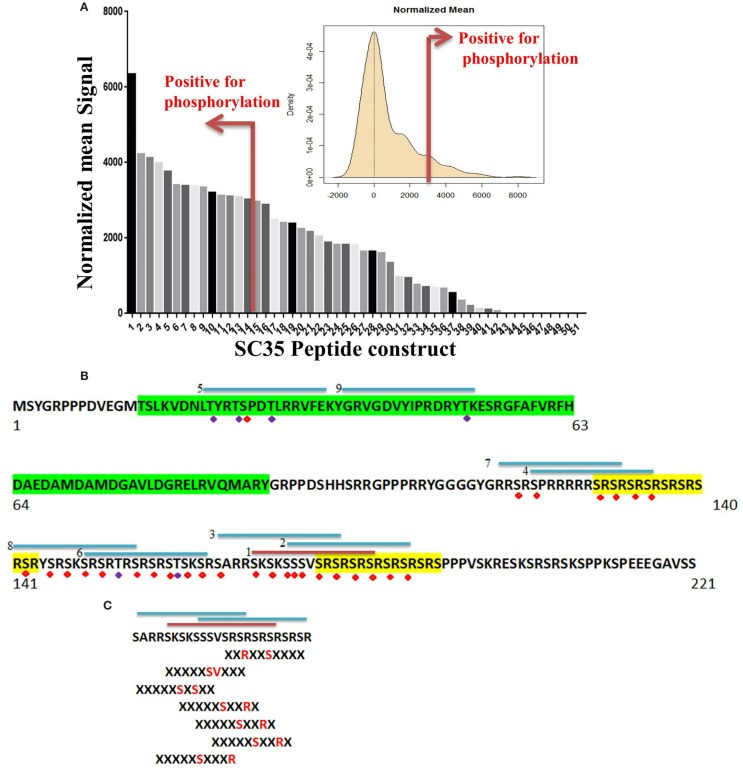 Identification of phosphorylated residues on the SC35 splicing protein. (A) Mean peptide signal and all SC35 peptide constructs used to examine SC35 for phosphorylation by PKC-θ. The red bar indicates the cut-off for positive signal for phosphorylation. The distribution curve for SC35 peptide phosphorylation is also displayed: the y -axis is the kernel density estimate of the normalized phosphorylation signal intensities on the x -axis, with anything equal to or greater than the red bar (2 × SD above the mean) considered a positive phosphorylation event. (B) The amino acid sequence of SC35 indicating the location of the top nine peptides in descending order and their location; the other five peptides correspond to overlaps with the first nine peptide locations. Green highlight denotes the RRM domain, the yellow highlight denotes RS dipeptide repeats. Peptides are numbered in order of mean signal intensity: red bar is the highest signal, blue bars are the other positive SC35 peptides, and possible serine or threonine phosphorylation residues are indicated by red or blue diamonds. (C) The top three peptide sequences and their overlap with the SC35 amino acid sequence. Hutti et al. ( 46 ) reported a serine/threonine specific motif for PKC-θ-mediated phosphorylation; using this information, the section of SC35 that scored the top three hits for peptide phosphorylation signals was analyzed for these motifs. Seven separate phosphorylation motifs were identified.