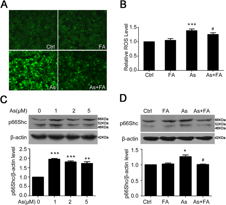 Folic acid reduces ROS levels and the expression of p66Shc in arsenite-exposed HEK293ET cells. ( A ) and ( B ) Levels of ROS were assessed by fluorescence microscope ( A ) and microplate reader ( B ) in HEK293ET cells treated with arsenite, folic acid and their combination. ( C ) Expression of p66Shc was assessed by Western blot in HEK293ET cells treated with different concentrations of arsenite. Quantification of p66Shc expression by densitometry. ( D ) Expression of p66Shc was assessed by Western blot in HEK293ET cells treated with arsenite, folic acid and their combination. Quantification of p66Shc expression by densitometry. * p