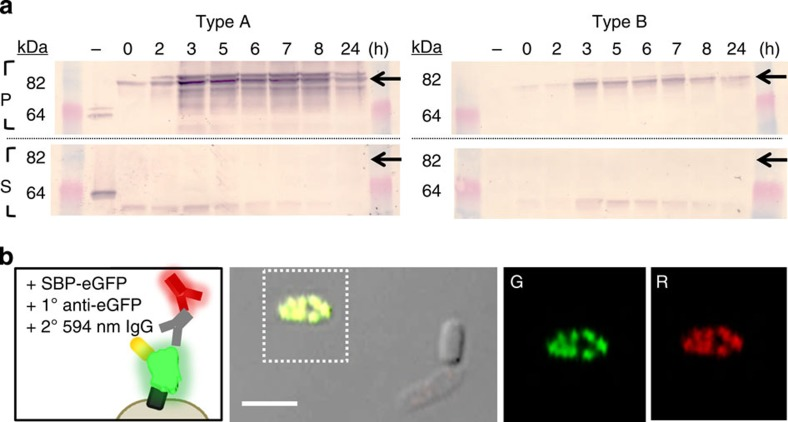 Affinity-based probing for functional analysis of AI-2-induced protein expression. ( a ) 64–82 kDa region of western blot for pelleted (P) and supernatant (S) protein fractions isolated from Type A and B cells. Alkaline phosphatase-conjugated streptavidin was used to target AIDAc–Venus–SBP at expression timepoints. Arrows indicate the expected position of the full fusion protein. ( b ) Immunostaining for assessment of the fluorescent protein surface accessibility. The external surfaces of cells expressing AIDAc–eGFP–SBP were probed with an anti–eGFP and Alexafluor594-labelled antibody pair. A representative overlaid fluorescence and phase contrast image is shown along with fluorescence images of the green (G) and red (R) filters for the boxed-in region. Scale bar, 2 μM.