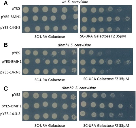 Evaluation of complementation. A spot assay was used to evaluate susceptibility to fluconazole 35 μM in wt ( a ), Δbmh1 ( b ) and Δbmh2 ( c ) S. cerevisiae transformants. There was a decreased sensitivity of transformants pYES-14-3-3 and pYES-BMH1 compared with the empty vector transformant (pYES). As a growth control, the transformants were also spotted in SD-URA without fluconazole