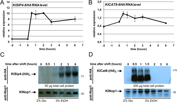 KlSIP4-6HA and KlCAT8-6HA RNA and protein levels after a shift to ethanol. (A and B) Time course of KlSIP4-6HA (A) and KlCAT8-6HA (B) gene expression. Wild-type cells expressing KlSip4-(HA) 6 (JA6/S4HA) or KlCat8-(HA) 6 (JA6/C8HA) were grown in glucose and shifted to ethanol medium at time zero. Samples were taken at the indicated time points, RNA was isolated and qRT-PCR was performed in triplicates. Fold changes relative to the time 0 sample were calculated by the 2 −∆∆CT method, normalized to the reference gene KlHEM2 . (C and D) Time course of protein levels. In parallel to the RNA preparations (panel A and B) total protein extracts were prepared, separated by SDS-PAGE and analyzed by Western blotting using anti-HA antibody (top panel). Nop1, detected with an anti-Nop1 antibody served as loading control (bottom panel). The position of KlSip4-(HA) 6 (89.1 kDa), KlCat8-(HA) 6 (166.4 kDa) and KlNop1 (34.8 kDa) are indicated by arrows.