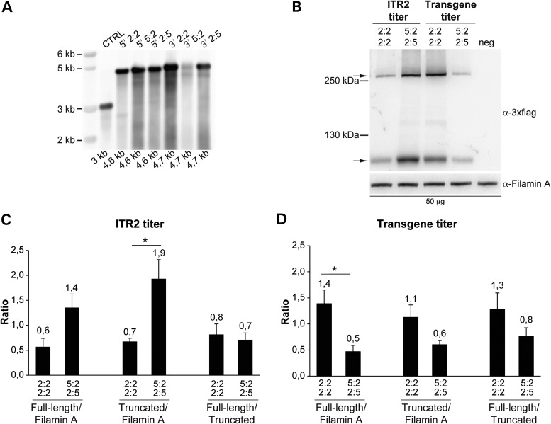 Genome and transduction efficiency of vectors with heterologous ITR2 and ITR5. ( A ) Alkaline Southern blot analysis of DNA extracted from 3 × 10 10 GC of both 5′- and 3′- ABCA4 -half vectors with either homologous (2:2) or heterologous (5:2 or 2:5) ITR, and of a control AAV preparation with homologous ITR2 (CTRL). The expected size of each genome is depicted below each lane. The molecular weight marker (kb) is depicted on the left 5′: 5′-half vector; 3′: 3′-half vector. ( B – D ) Representative Western blot analysis and quantification of HEK293 cells infected with dual AAV2/2 hybrid ABCA4 vectors with either heterologous ITR2 and ITR5 or homologous ITR2 at m.o.i. based on either the ITR2 (B and C) or the transgene (B and D) titre. The Western blot images (B) are representative of n = 3 independent experiments; the quantifications (C and D) are from n = 3 independent experiments. (B) The upper arrow indicates full-length ABCA4 protein, the lower arrow indicates truncated proteins; the molecular weight ladder is depicted on the left. The micrograms of proteins loaded are depicted below the image. α-3×flag: Western blot with anti-3×flag antibodies; α-Filamin A: Western blot with anti-Filamin A antibodies, used as loading control. (C and D) Quantification of full-length and truncated ABCA4 protein bands from Western blot analysis of cells infected with a dose of vector based on either the ITR2 (C) or the transgene (D) titre. The histograms show either the intensity of the full-length and truncated protein bands divided by that of the Filamin A bands or the intensity of the full-length protein bands divided by that of the truncated protein bands in the corresponding lane. The mean value is depicted above the corresponding bar. Values are represented as: mean ± s.e.m. * p Student's t -test ≤ 0.05. More details on the statistical analysis including specific statistical values can be found in the Statistical analysis paragraph of the Materials and Methods section. 2:2 2:2: