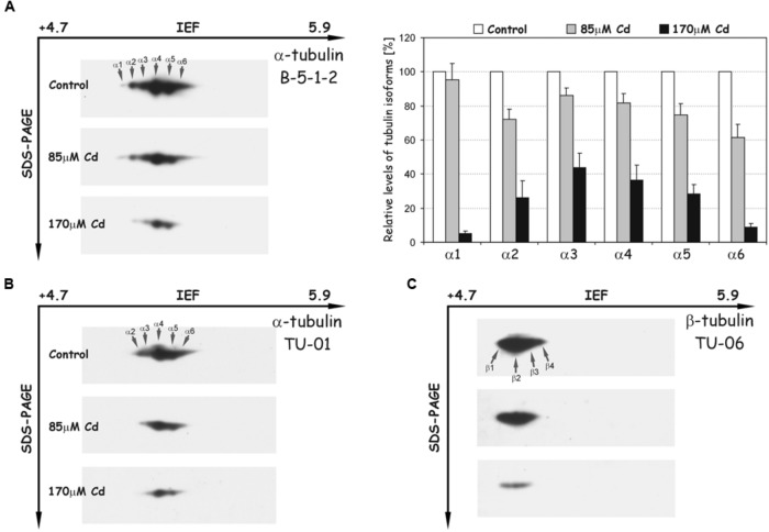 Representative immunoblots probed with different antibodies against α-tubulin (A,B) and β-tubulin isoforms (C) . Individual tubulin isoforms are denoted by arrows marked α1–α6 for α-tubulin and β1–β4 for β-tubulin. The quantitative results for α-tubulin (antibody B-5-1-2) were calculated as a ratio of pixel intensity values to area of spots and data were presented considering the control as a reference point (100%). The values represent the average of three independent measurements with a standard deviation.