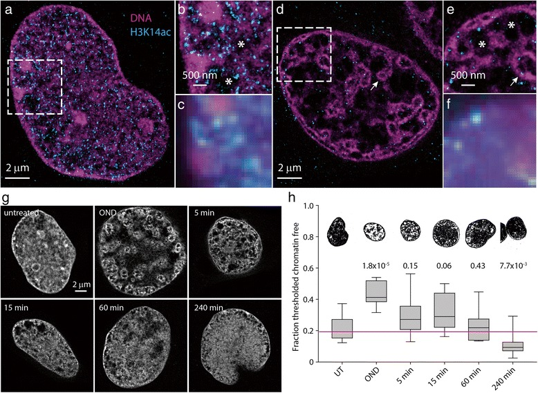 Oxygen and nutrient deprivation induces compaction of chromatin. HL-1 cells were fixed, permeabilized, and immunostained with anti-acetylated histone H3K14 and then counter-stained with Vybrant DyeCycle Violet. Two-color SMLM was performed on untreated HL-1 cells ( a , b ) or on cells exposed to 1 hour of OND ( d , e ). The dashed boxes in ( a , d ) are shown as zoomed views in ( b ) and ( e ), respectively. For comparison, wide-field images of the inset regions are shown in ( c , f ). Chromatin voids are indicated by asterisks and atolls marked by the arrow . Representative SMLM images of Vybrant Dyecycle Violet-stained nuclei, either untreated, subjected to 1 hour of OND or 5, 15, 60 and 240 minutes after release from OND are shown in ( g ). A discriminatory threshold (pixel intensity ≤ 50) was applied to the experimental set of SMLM imaged nuclei (a minimum of nine cells were imaged), with box plots and representative images describing the median and range of the proportion of the nucleus with chromatin shown in ( h ). P values compared with untreated are reported above the box plots. UT untreated