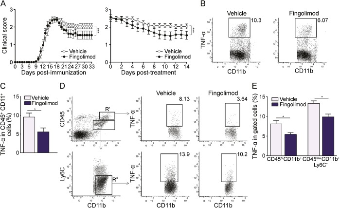 Therapeutic administration of fingolimod during EAE reduces myeloid cell activation in the spleen and CNS (A) Clinical expression of MOG 35-55 peptide-induced experimental autoimmune encephalomyelitis (EAE) in fingolimod-treated (n = 13, black dots) or vehicle-treated (n = 12, white dots) mice. Drug or vehicle were administered daily starting 3 days after disease onset. Left graph shows mean clinical scores from day of immunization, right graph depicts mean clinical score according to treatment duration. (B) Representative stainings for tumor necrosis factor–α (TNF-α) production by CD45+ CD11b+ spleen myeloid cells from vehicle- and fingolimod-treated EAE mice. (C) Frequency of TNF-α–producing myeloid cells in vehicle-treated (n = 5) and fingolimod-treated EAE (n = 4) mice. (D) Representative stainings for TNF-α production by CNS myeloid cells from vehicle-treated and fingolimod-treated EAE mice. Left panels show gating strategy. R′: CD45 hi CD11b+ blood-borne CNS infiltrating myeloid cells. Gate R″: CD45 low CD11b+Ly6C − CNS resident microglia. Middle and right panels depict representative stainings for TNF-α production by CNS infiltrating (upper) or resident (lower) myeloid cells from vehicle-treated and fingolimod-treated EAE mice. (E) Frequency of TNF-α–producing CNS myeloid cells in vehicle-treated (n = 5) and fingolimod-treated EAE mice (n = 5). Representative animals of the mean EAE clinical score (A) were analyzed in C and E. Bars represent SEM. * p