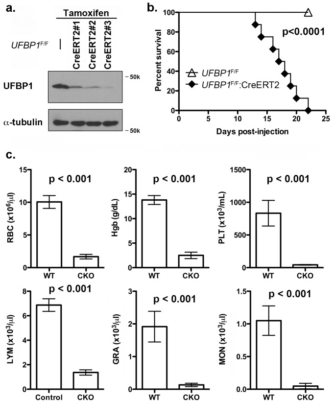 Loss of UFBP1 in adult mice results in severe pancytopenia and animal death. a . Confirmation of UFBP1 depletion in bone marrow cells of TAM-injected CKO mice. Floxed mice were IP injected with tamoxifen according to a standard protocol. BM cells were collected and subject to immunoblotting of UFBP1. b. Survival curve of UFBP1 deficient mice after TAM injection, p