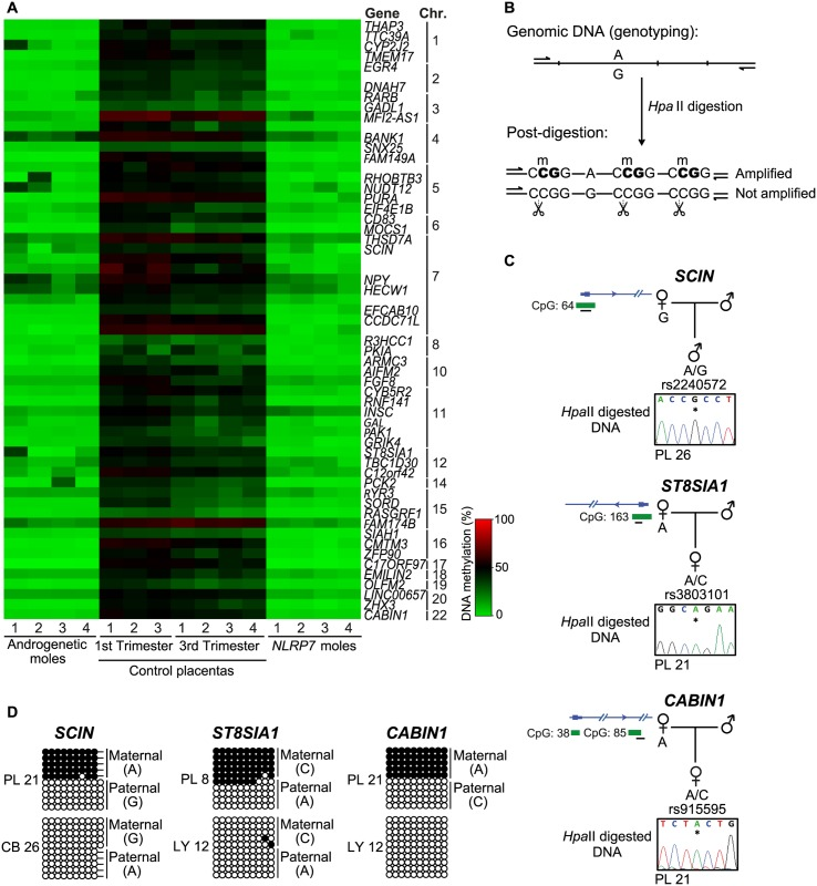 Identification of additional placenta-specific imprinted DMRs in RHM samples. (A) A heatmap for the β mean of the Infinium probes with a methylation difference ( > 20%, minimum 3 consecutive probes) in RHMs associated with maternal effect NLRP7 mutations compared to control placental biopsies. (B) Schematic representation of the methylation-sensitive Hpa II genotyping assay. (C) Methylation profiles as determined by methylation-sensitive genotyping and (D) bisulfite PCR and subcloning on placenta and somatic tissue DNA samples at the SCIN , ST8AIA1 and CABIN1 promoters. Note that the samples used for methylation-sensitive genotyping and bisulphite PCR maybe different to highlight that methylation is not associated with genotype but parental origin.