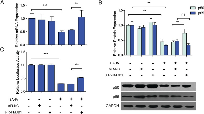 SAHA induced down-regulation of NF- κ B1 was <t>HMGB1</t> dependent. LX2 cells were transfected by siR-NC or siR-HMGB1 48 h before 2.5 µM SAHA treatment. (A) The mRNA expression of NF- κ B1 (p50) in each group was detected by RT-PCR. (B) Protein expressions of p50 and p65 in each group were determined by western blot assay. (C) Dual luciferase reporter assay. The activity of NF- κ B in each group was detected by a dual luciferase reporter system. NF- κ B driven firefly luciferase activity was assayed by a dual luciferase reporter system, renilla luciferase activity served as internal control, the results were expressed as relative luciferase activity. The mRNA or protein expressions were normalized to GAPDH. ∗∗ P