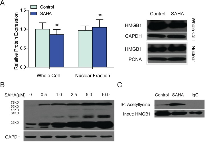 SAHA treatment improved the lysine acetylation of intracellular HMGB1. (A) The protein level of HMGB1 in the whole cell or nuclear lysates of SAHA treated LX2 cells was detected by western blot, ns, not significant, P > 0.05. GAPDH was used as a loading control for the whole cell lysates, and PCNA were used as a loading control for the nuclear fraction. (B) The lysine acetylation levels of total proteins from SAHA-treated LX2 cells were analyzed by western blot. The concentrations of SAHA were 0.5 µM, 1.0 µM, 2.5 µM, 5.0 µM and 10.0 µM as indicated. GAPDH was used as a loading control. (C) Lysine acetylation of HMGB1 was detected by immunoprecipitation. IgG was served as a negative control.