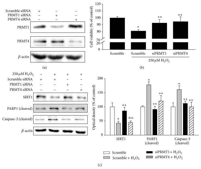 The knockdown of PRMT1 or PRMT4 attenuates oxidative stress-induced RPE cell damage and PRMT1 expression regulates SIRT1 expression. (a) ARPE-19 cells were transfected with scramble, PRMT1, or PRMT4 siRNA according to the reverse transfection method. After 36 h, cell extracts were subjected to Western blotting with the indicated antibodies. (b, c) ARPE-19 cells were transfected with scramble, PRMT1, or PRMT4 siRNA according to the reverse transfection method. After 24 h, the medium was changed to serum-free medium and 250 μ M H 2 O 2 was added for 24 h. (b) Cell viability was measured by the MTT assay. The data represent the means ± SEM of three independent experiments, each performed in triplicate. ∗ P