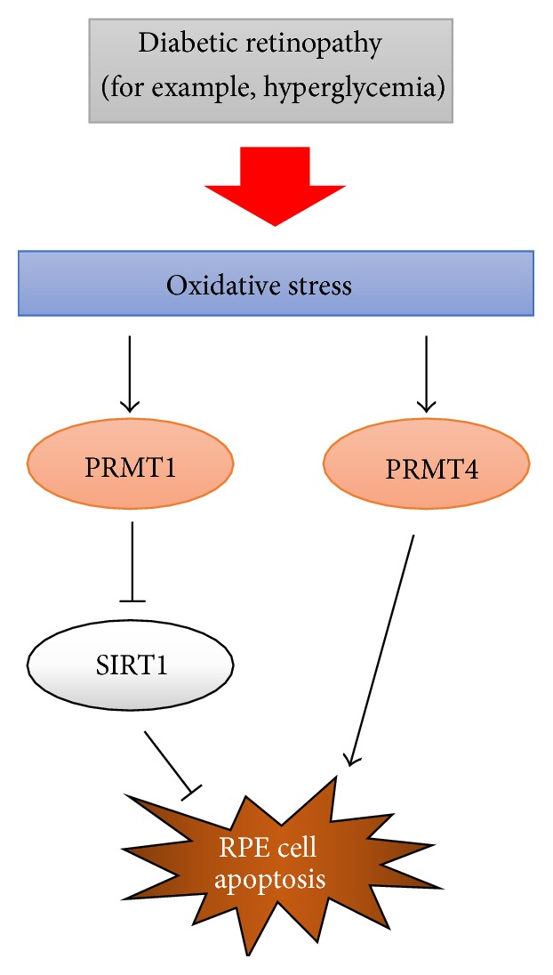 PRMT1 and PRMT4 regulate oxidative stress-induced RPE cell damage in SIRT1-dependent and SIRT1-independent manners.