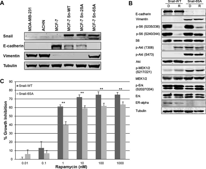 MCF7 Snail-6SA has increased Erk phosphorylation and decreased sensitivity to higher doses of <t>rapamycin</t> A. Snail, E-cadherin and vimentin expression was assessed in stably transfected MCF7 snail wild-type (Sn-WT) and MCF7 snail mutant (Sn-2SA and Sn-6SA) cell lines by western blotting. B. MCF7 snail wild-type (Snail-WT) and mutant (Snail-6SA) cell lines were treated with <t>DMSO</t> 0.1% or rapamycin 100 nM daily for 3 days. EMT, MAPK and mTOR pathway markers were assessed by western blotting. C. Rapamycin sensitivity in MCF7 snail wild-type (Snail-WT) or mutant (Snail-6SA) cell lines were assessed by SRB assay following 96-hour treatment with increasing doses of rapamycin. ** p
