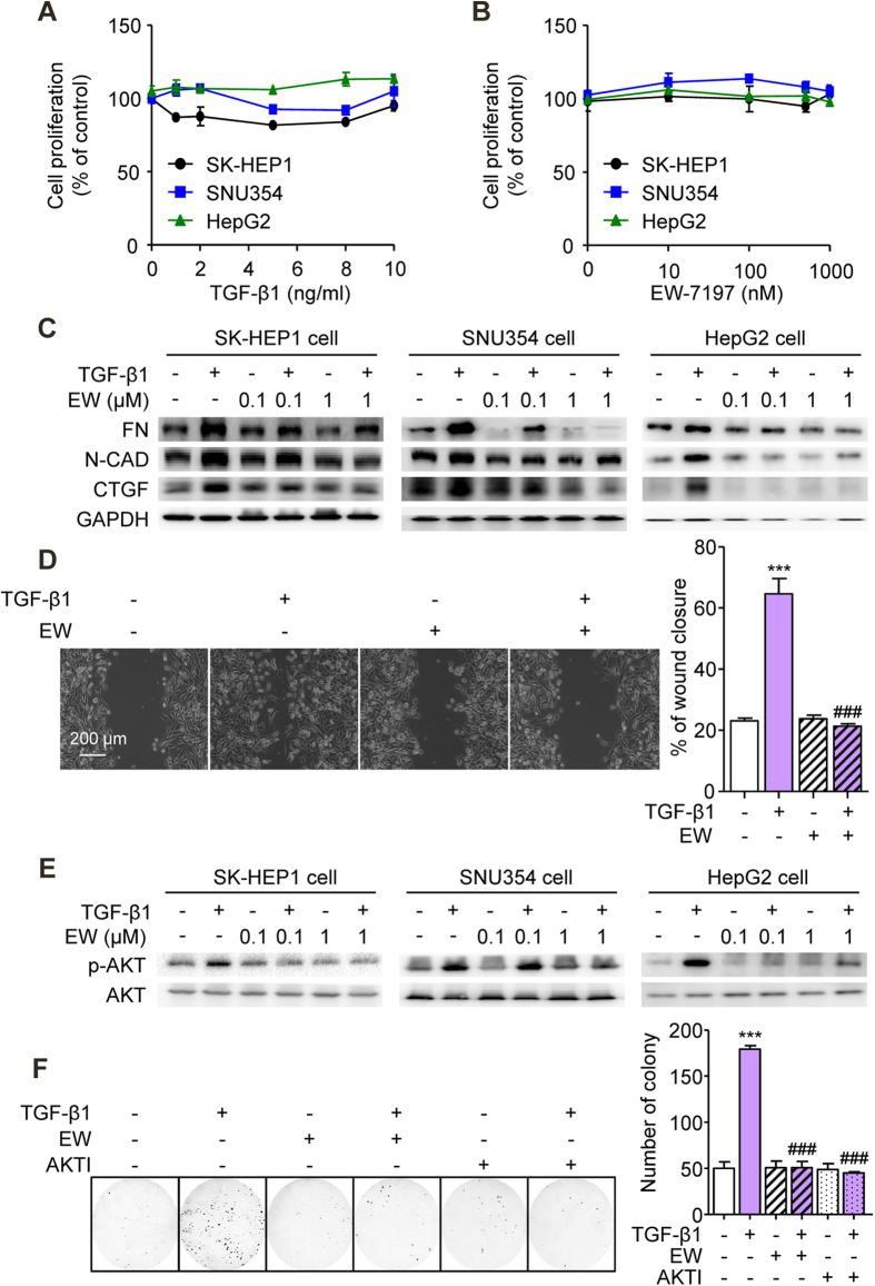 Suppression of TGF-β-Induced EMT and Akt Signaling In Vitro by TGF-β Blockade. ( A ) Effects of TGF-β1 on the proliferation of SK-HEP1, SNU354, and HepG2 cells. Cells were treated with the indicated concentration of TGF-β1 for 72 h. ( B ) Effects of EW-7197 on the proliferation of SK-HEP1, SNU354, and HepG2 cells. Cells were treated with the indicated concentration of EW-7197 for 72 h. ( C ) Effects of EW-7197 on the protein expression levels of fibronectin (FN), N-cadherin (N-CAD), and CTGF in SK-HEP1, SNU354, and HepG2 cells. Cells were treated with the indicated concentration of EW-7197 in the presence or absence of TGF-β1 (2 ng/ml) for 24 h. GAPDH was used as a reference. ( D ) Effects of EW-7197 (1 μM) on the migration of SK-HEP1 cells. Cells were treated with EW-7197 in the presence or absence of TGF-β1 (2 ng/ml) for 30 h. Scale bars: 200 μm. ( E ) Effects of EW-7197 on AKT phosphorylation in SK-HEP1, SNU354, and HepG2 cells. Cells were treated with the indicated concentration of EW-7197 in the presence or absence of TGF-β1 (2 ng/ml) for 24 h. AKT was used as a reference. ( F ) Effects of EW-7197 (1 μM) and Akt inhibitor (10 μM, AKTI) on the anchorage-independent growth of SK-HEP1 cells. Cells were treated with the indicated drug in the presence or absence of TGF-β1 (2 ng/ml) for 24 h. After treatment, the cells were counted and placed in soft agar for colony assay to determine cell survival. *** p