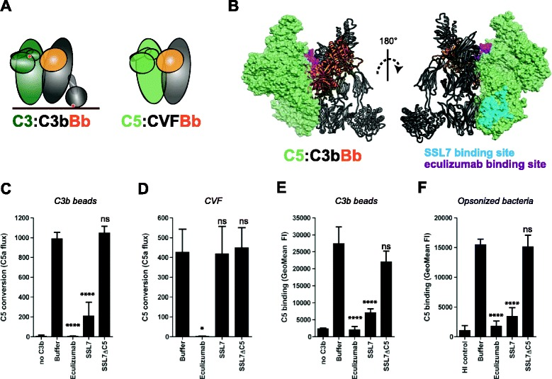 Inhibitors reveal two important interaction sites for C5 with surface-bound C3b. a Left, schematic representation of the proposed interaction between substrate C3 and the alternative pathway (AP) C3 convertase (based on crystal structure [ 8 ]). Right, binding of C5 to CVFBb (based on the CVF:C5 crystal structure [ 24 ]). CVF is a potent C3b homologue that lacks the thioester domain and forms stable C5 convertases in solution. b Structural model of the previously proposed AP C5 convertase. The C3/C5 convertase (C3bBb) is shown in ribbon representation, with C3b in gray and Bb in orange, respectively. C5 (green) is shown as a molecular surface, with residue involved in eculizumab (magenta) and SSL7 (cyan) binding colored on the surface. The left and right representations represent the same complex rotated 180° about the vertical axis. c C5 conversion on C3b-coated beads in the absence or presence of 20 μg/ml C5 inhibitors (SSL7, SSL7ΔC5, eculizumab) as determined by calcium mobilization of U937-C5aR cells. d C5 conversion by soluble CVFBb in the absence or presence of 20 μg/ml C5 inhibitors. e C5 binding to C3b-coated beads (loaded with 1 μg/ml C3b-biotin) in absence or presence of 20 μg/ml C5 inhibitors, determined by flow cytometry. f C5 binding to pre-opsonized bacteria in absence or presence of 20 μg/ml C5 inhibitors (flow cytometry). c – f Data of three independent experiments, presented as means ± standard deviation (SD). Measures of statistical significance were determined by one-way ANOVA for the various inhibitors versus buffer control alone and displayed as: ns; * P