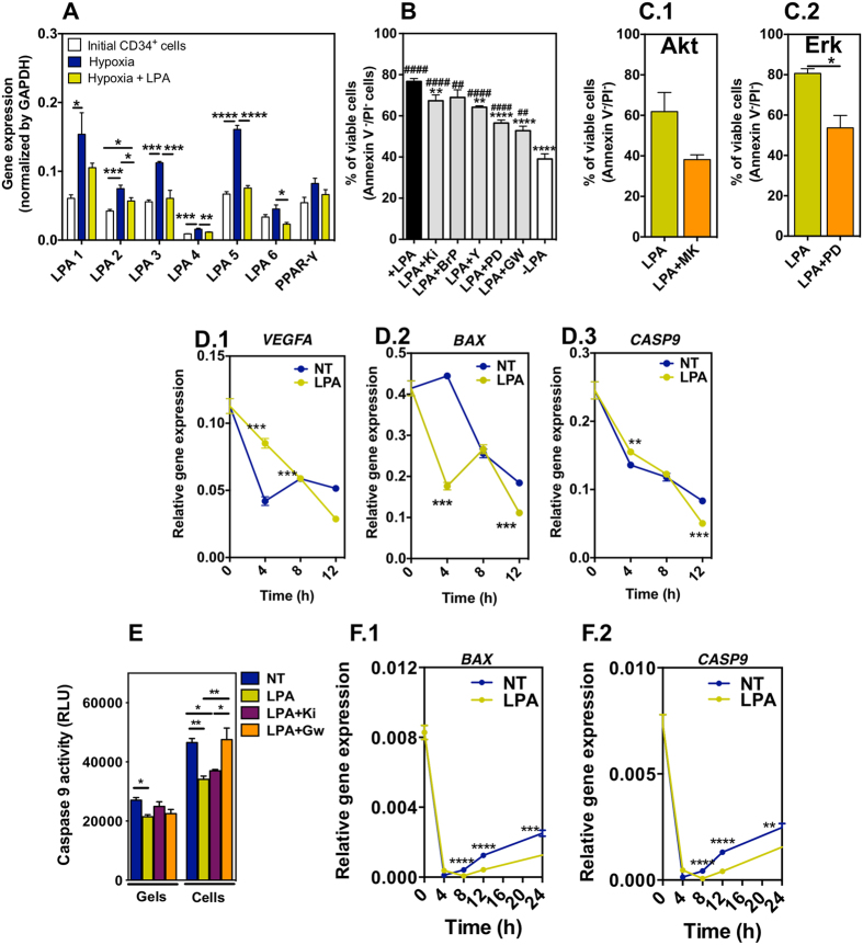 Survival mechanism in LPA-treated CD34 + cells. ( A ) Expression of LPA receptors. Cells were cultured in the different experimental conditions for 24 h. Gene expression was normalized by the expression of GAPDH .Studies were performed in CD34 + cells isolated from 3 different donors; 4 technical replicates. ( B ) Involvement of LPA receptors in cell survival. Cells were pre-treated with Rho kinase inhibitor (Y-2762), MEK1/2 inhibitor (PD98059), LPA 1 - and LPA 3 -specific inhibitor (Ki16425), a pan-G protein inhibitor (1-bromo-3(S)-hydroxy-4-(palmitoyloxy)butyl]phosphonate (BrP)), or peroxisome proliferator-activator receptor γ (PPAR-γ) inhibitor (GW9662) for 1 h before hypoxia and cell medium containing LPA (100 μM) for 24 h. Cells without any pre-treatment and cultured in serum-free medium with or without LPA, in hypoxia for 24 h, were used as positive and negative controls, respectively. Studies were performed in CD34 + cells isolated from at least 3 different donors; 1–8 technical replicates. # and * means statistical difference relatively to cells without any pre-treatment and cultured in serum free medium without LPA, and with LPA, respectively. ( C ) Percentage of viable cells was measured by FACS. CD34 + cells in hypoxia and serum deprived conditions were treated with LPA, LPA with MEK1/2 inhibitor (PD98059; an upstream activator of MAPK/Erk), or LPA with Akt inhibitor (MK2206). Studies were performed in CD34 + cells isolated from 3 different donors. ( D ) Gene expression of VEGFA , BAX and CASP9 . NT and LPA mean non-treated and LPA-treated CD34 + cells in suspension. Gene expression was normalized by the expression of GAPDH .( E ) Caspase 9 activity in LPA-treated or non-treated CD34 + cells either in suspension (Cells) or encapsulated in a fibrin gel (Gels) at 24 h. Activity was assessed by Caspase Glo® 9 Assay kit. ( F ) Gene expression of BAX and CASP9 in fibrin gel encapsulated cells. Gene expression was normalized by the expression of GAPDH . In ( D 
