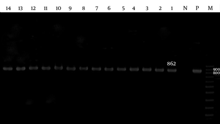 Polymerase Chain Reaction Amplification of the adeB Gene of the A. baumannii Isolates Lane M, 100 bp DNA size marker; Lane P, A. baumannii ATCC19606 positive control; Lane N, negative control; Lane 1 - 14, adeB gene positive isolate.