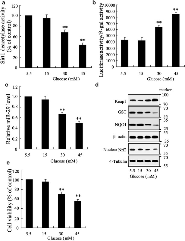 Effect of high glucose on renal tubule epithelia cell of HK-2 in vitro. Cells were triggered with doses of glucose (5.5, 15, 30 and 45) for 48 h. a Sirt1 activity was assessed. b NF-κB transcription activity was evaluated using luciferase reporter gene assay. c miR-29 expression was determined. d Western blot was performed to assess Keap1, GST, NQO1 and nuclear Nrf-2 expression. e Cell viability was evaluated using MTT assay. Data were presented as mean ± S.D. **P