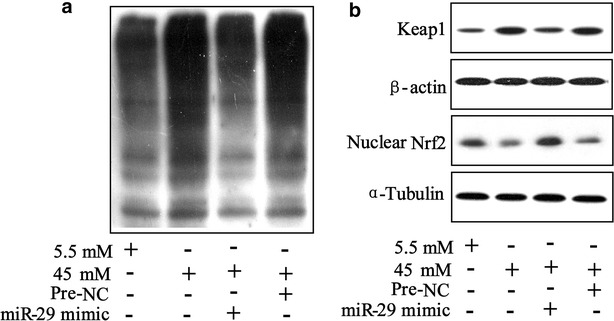 Ubiquitination of Nrf2 was regulated by miR-29/Keap1 axis in high glucose triggered HK-2 cells. a HK-2 miR−29mimic cells were transfected with Flag-ubiquitin and myc-Keap1 for 2 h and exposed to 5.5 and 45 mM glucose for 48 h; expression of ubiquitinated Keap1 protein was determined using western blot. b Western blot was performed to analyze expression of Keap1 and nuclear Nrf2 in 5.5 mM and 45 mM glucose-triggered HK-2 miR−29mimic cells