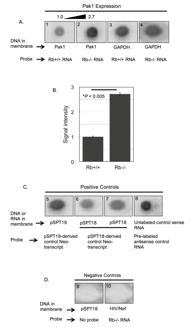 Rb represses the transcription rate of the Pak1 gene. (A) Representative nuclear run-on assay from a triplicate experiment showing hybridization of Rb+/+ ( blot 1 ) and Rb-/- ( blot 2 ) DIG-labeled mRNA probes to a Pak1 cDNA immobilized in a membrane. These two probes were also hybridized to GAPDH cDNAs ( blots 3 and 4 ). Hybridization signal intensity was stronger with the Rb-/- probe, indicating higher transcriptional rate of the Pak1 gene in Rb-/- nuclei. (B) To determine the differences in signal intensity, the chemioluminiscence in the membranes was quantified and analyzed using BioRad's Quantity 1 Imaging Software and normalized against the signal intensities obtained when hybridizing to the GAPDH cDNAs (blots 3 and 4 in A ). This quantitative analysis showed a statistically significant 2.7-fold increase in the signal intensity of the Rb-/- hybridization over the Rb+/+ hybridization. Each bar represents the mean of at least 3 independent experiments (±SE of the mean), with P