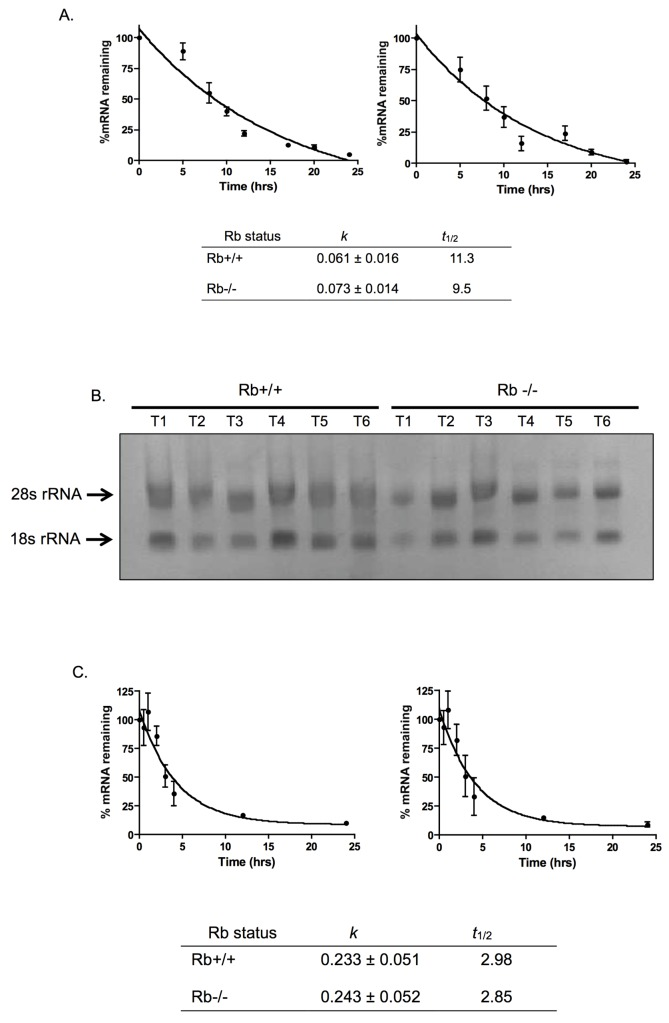 Rb does not affect Pak1 mRNA or protein stability. (A) Rb+/+ and Rb-/- MC3T3 cells were incubated with the transcriptional inhibitor actinomycin D, and Pak1 mRNA levels were assessed by qRT-PCR at 0, 5, 8, 10, 12, 17, 20, and 24 hours after actinomycin D addition. The graph shows percent of Pak1 mRNA, normalized against β-actin mRNA, remaining as a function of time incubated in actinomycin D relative to T 0 (no actinomycin D), which was arbitrarily assigned a value of 100%. Data were analyzed by nonlinear regression, and the Pak1 mRNA t 1/2 was calculated from the first-order decay constant ( k ) obtained with the PRISM software program (GraphPad). Rb+/+ and Rb-/- MC3T3 cells show similar decay constants ( k ) and t 1/2 and comparable to the previously reported 10 hours [ 21 ], suggesting that these parameters are not affected by Rb status. (B) Samples of total RNA from Rb+/+ and Rb-/- cells were collected at various time intervals (T1 –T6) during the time course of the experiment and run in a 1.4% agarose gel containing formaldehyde. Ethidium bromide staining revealed a 2:1 ratio of 28S-to-18S rRNA and no visible signs of degradation, indicating high quality of the RNA without any signs of degradation and suggesting that the measured degradation of Pak1 mRNA is not a reflection of a general degradation of total RNA. (C) Kinetics of decay of the myeloid cell leukemia-1 (MCL1) mRNA used as a reference. The experiment was performed essentially as described in (A) . In both Rb+/+ and Rb-/- MC3T3 cells, MCL1 mRNA had a t 1/2 of approximately 3 hours, which is what has been reported for this mRNA [ 22 ], and the k was unaffected by Rb status. (D) Immunoblot analysis of Pak1 protein levels at different time points after addition of 10 mg/mL puromycin ( top ) and graph showing changes of Pak1 protein expression levels as a function of time incubated in puromycin ( bottom ). The time points analyzed were 0, 2, 5, 8, and 11 hours. Drug toxicity precluded the analysis of time points beyond 11 hours. Pak1 levels were normalized against α-tubulin expression. No significant changes were observed in terms of Pak1 protein degradation when comparing Rb+/+ and Rb-/- MC3T3 cells, suggesting that Rb does not affect Pak1 protein stability, at least within the time points evaluated.