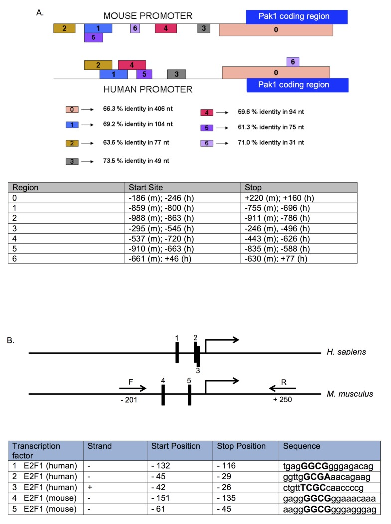 Conserved regions in the Pak1 promoter contain E2F binding sites. (A) Alignment of a region of 1,000 bp (from -700 to +300 bp) of the mouse and human Pak1 promoters generated by the Data Base of Transcriptional Start Sites (DBTSS), showing 7 conserved regions labeled 0–6. The longest conserved stretch is region 0, which spans a 406-bp region from -186 to +220 with 66% identity. The table below the promoter diagram shows the start and stop positions for each conserved region in mouse (m) and human (h). (B) Schematic of the human and mouse Pak1 promoters showing 5 E2F1 binding sites (labeled as 1–3 in the human promoter and 4 and 5 in the mouse promoter), as identified by Genomatrix analysis. These E2F1 binding sites are in the conserved region (labeled as 0 in A) . The table shows the positions, strand, and sequences of each E2F1 binding site, with the core nucleotides in each binding site indicated capitalized in bold. (C) A Pak1 mouse promoter-Firefly luciferase construct containing the 2 E2F binding sites was transfected into Rb+/+ and Rb-/- MC3T3 cells, and promoter activation was measured by its luciferase activity and normalized against a co-transfected Renilla luciferase construct. The Pak1 promoter region containing the E2F binding sites was amplified using the forward (F) and reverse (R) primers illustrated in (B) and in bold in S1 Fig . Transcriptional activity in Rb-/- cells was stronger than in Rb+/+ cells by a factor of 2.1 after normalization with Renilla luciferase, a value that is close to the 2.7-fold transcriptional induction that we observed in our nuclear run-on assays. *P