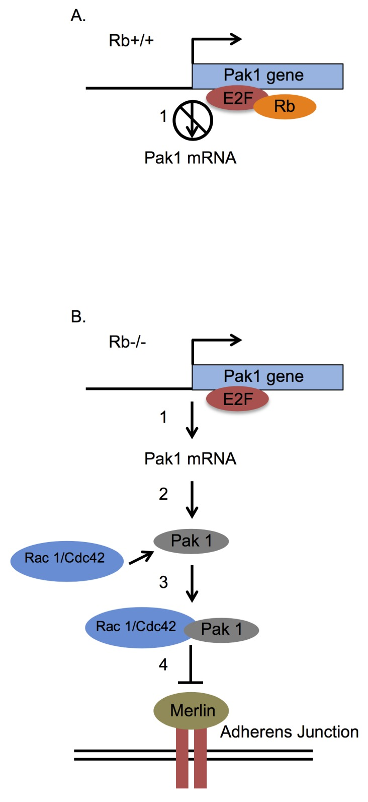 Model linking Rb function to cell adhesion via control of Pak1 expression. (A) Rb-expressing osteoblasts show significantly diminished Pak1 expression relative to their Rb-deficient counterparts since Rb binds to E2F1 in the Pak1 promoter and blocks its activity. This can be either by direct interference with E2F1's trans-activating capacity or by recruitment of histone deacetylases to E2F1-sensitive promoters ( 1 ). (B) In the absence of Rb, the unrestricted E2F1 action induces transcription of the Pak1 gene ( 1 ) with consequent translation of the Pak1 protein ( 2 ). Once translated, Pak1 binds and is activated by a Rho GTPase such as Rac1 or Cdc42 to form an active complex (3), which then phosphorylates the merlin tumor suppressor in serine 518 ( 4 ), a phosphorylation that impairs merlin function. Because merlin acts mainly by promoting the stabilization of adherens junctions at the cell membrane, loss of merlin function by the Pak1-dependent phosphorylation will bring about a disruption of adherens junctions and therefore of intercellular adhesion.