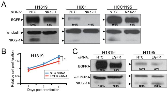 NKX2-1 regulates EGFR levels, with negative feedback. (A) NKX2-1 knockdown leads to reduced EGFR protein levels quantified by western blot (% residual indicated). Levels normalized to α-tubulin loading control. (B) EGFR knockdown by siRNA reduces cell proliferation comparable to NKX2-1 knockdown (see Fig 1A ). **, P -value