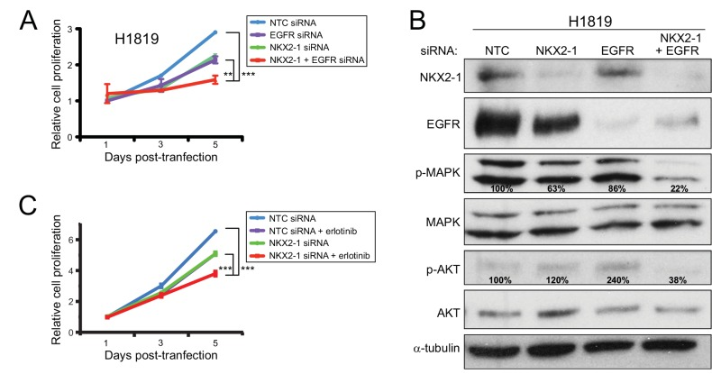 Combined NKX2-1 and EGFR knockdown reduces cell proliferation and MAPK/PI3K signaling. (A) Combined knockdown of NKX2-1 and EGFR reduces H1819 cell proliferation more than either alone. **, P -value