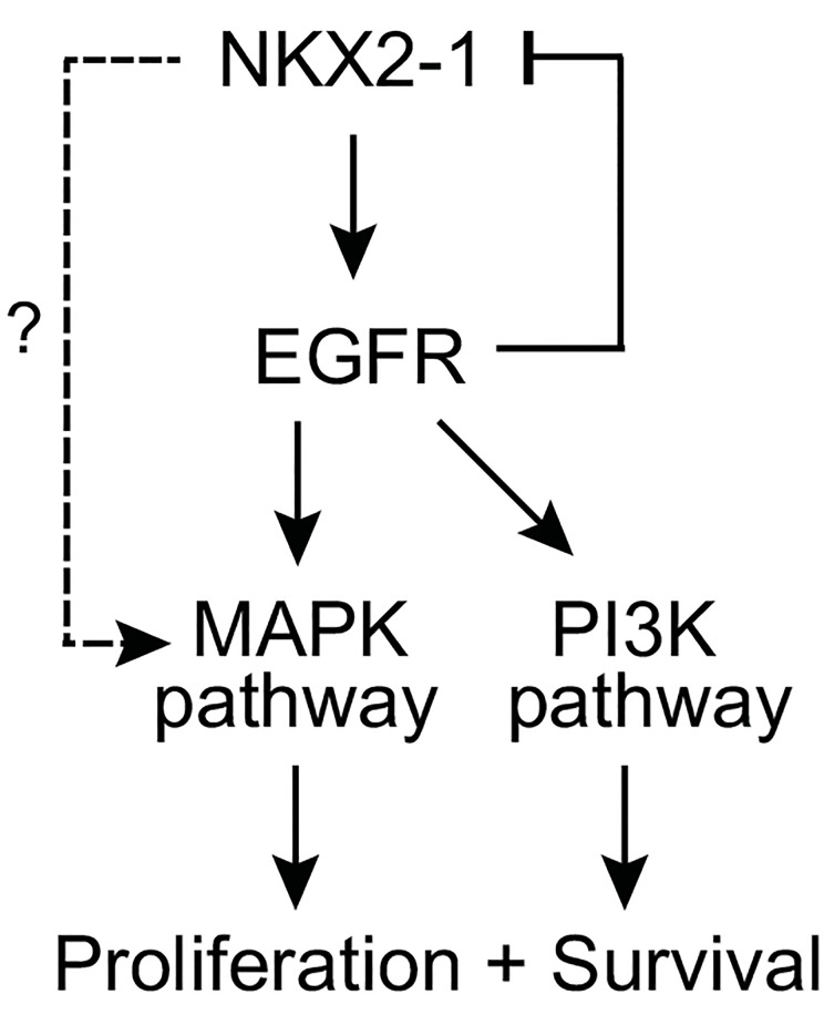 Model of EGFR as downstream mediator NKX2-1 oncogenic signaling. Schematic figure summarizes pathways and relationships deduced from experimental findings; see discussion in main text.