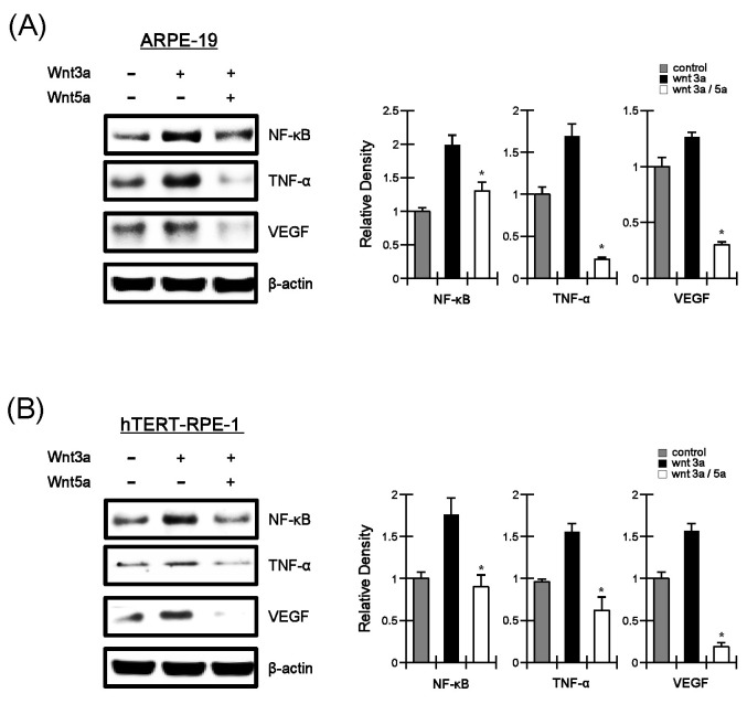 Wnt5a downregulates the levels of angiogenic/inflammatory factors in human RPE cells. Total proteins were prepared from ARPE-19 (A) and hTERT-PRE-1 (B) cells treated with Wnt3a-CM and/or Wnt5a-CM and subjected to western blot analysis with antibody against NF-κB, TNF-α, or VEGF. The blots were re-probed with anti-actin antibody as loading control. The histogram shows the average volume density corrected for the loading control (n = 3) and bars indicate standard deviations group. *P