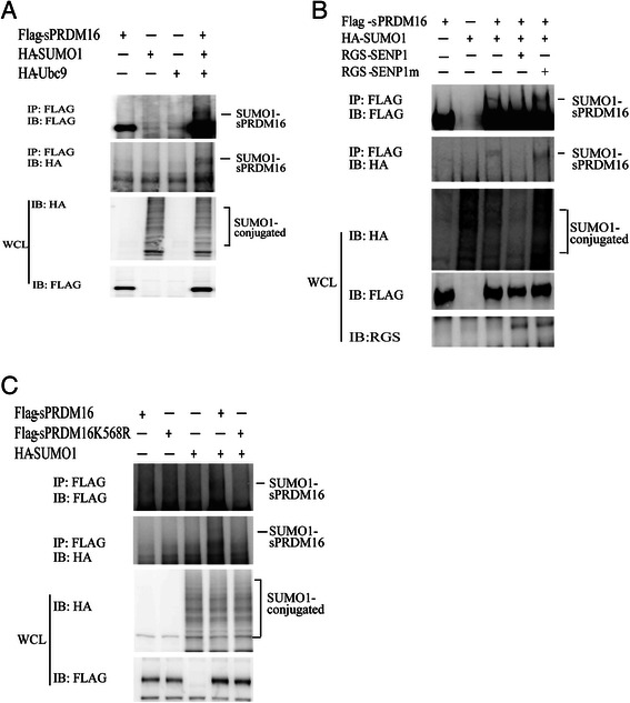 sPRDM16 was SUMOylated by SUMO1 on lysine-568. a sPRDM16 was SUMOylated in vivo . HEK293T cells were transfected with the indicated plasmids for 36 h. Immunoprecipitation was performed with anti-FLAG M2 agarose beads. The immunoprecipitates (IP) and the original whole-cell lysates (WCL) were analyzed by immunoblotting (IB) with anti-HA or anti-FLAG antibodies. b SENP1 de-SUMOylated sPRDM16. HEK293T cells were transfected with HA-SUMO1, Flag-sPRDM16, RGS-SENP1, or RGS-SENP1m as indicated. Flag-sPRDM16 proteins were pulled down by anti-Flag M2 agarose beads from cell lysates. Bound proteins were blotted with anti-Flag. Cell lysate was immunoblotted (IB) with anti-Flag antibody, anti-HA antibody, or anti-RGS antibody. c K568 was the primary SUMOylation site of sPRDM16. HEK293T cells were transfected with the indicated plasmids. Cell lysates were immunoprecipitated with anti-FLAG M2 agarose beads, followed by Western blot (WB) analysis using anti-HA or anti-FLAG antibodies