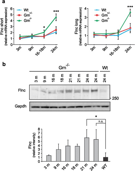Analysis of Flnc expression in Grn knockout mice at transcript and protein level. qRT-PCR analysis of the long and short isoform of Flnc ( a ) measured in progranulin knockout mice of different ages. We analyzed the expression levels of both long and short isoforms of mouse Flnc in heterozygous Grn +/- and homozygous Grn -/- mice and wild-type (Wt) animals of 3 months ( n = 4), 9 months ( n = 4), 16-18 months ( n = 6) and 24 months ( n = 5) of age. b Increased FlnC expression levels were confirmed on protein level using quantitative immunoblot analysis. Two protein bands are detected around the height of mouse FLNC using the Kinasource AB152 anti FLNC antibody. The upper band is FLNC specific as determined by Western blotting using lysates from FlnC knockout mice (data not shown). The lower band is therefore considered as an aspecific protein band. * P
