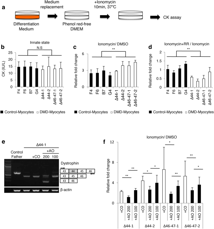 Ca 2+ influx induces prominent skeletal muscle cellular damage in DMD-Myocytes. ( a ) Experimental design of the CK assay. ( b ) CK activity (IU/L) at the baseline condition of Control- and DMD-Myocytes, measured after 10 min of incubation at 37 °C. n = 6 with three independent experiments conducted for each assay. ( c ) Relative fold change in the CK value in Control- and DMD-Myocytes upon ionomycin addition, normalised against CK values for DMSO (control) addition. Two-way analysis of variance (ANOVA) revealed a significant difference in the rate of change between Control- and DMD- Myocytes in response to ionomycin treatment based on Scheffe's test. **P