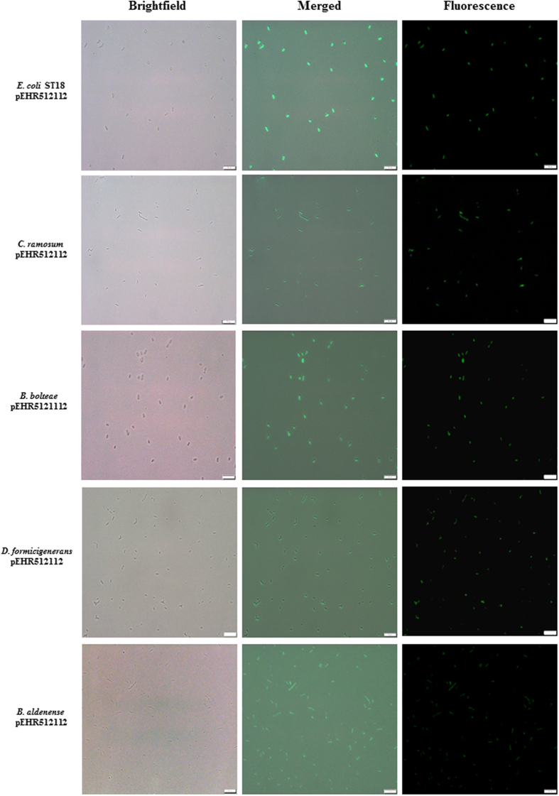 Analysis of transconjugants carrying pEHR512112 by fluorescence microscopy. The transconjugants were recovered and purified on M2SC based medium. Colonies were re-suspended in sterile anaerobic diluent and individual cells were visualised using an Olympus BX 63 microscope. Images were captured using the Olympus cellSens modular imaging software platform and processed using the ImageJ software package. A scale bar of 10 μm is included for reference.
