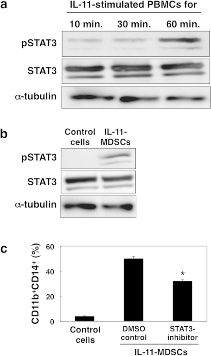 IL-11-dependent STAT3 activation in CD11b + CD14 + MDSCs. ( a ) PBMCs from blood of healthy donors were stimulated with IL-11 (10 ng/mL) for 10, 30, and 60 min. Total STAT3, phosphorylated STAT3 (pSTAT3), and alpha-tubulin proteins were evaluated by immunoblotting using specific antibodies. The representative data from three independent experiments are indicated. ( b ) PBMCs were cultured in the presence or absence of IL-11 for 7 days and CD11b + CD14 + cells were isolated by cell sorting. Total STAT3, pSTAT3, and alpha-tubulin were analysed by immunoblotting. The representative data from three independent experiments are indicated. c, PBMCs were cultured in the presence of STAT3 inhibitor (6-nitrobenzo[b]thiophene-1,1-dioxide, 10 μM) or DMSO with IL-11 and/or GM-CSF for 7 days. Percentages of the induced CD11b + CD14 + cells were determined by flow cytometry. The means and SDs of the data from three independent experiments are shown. * p