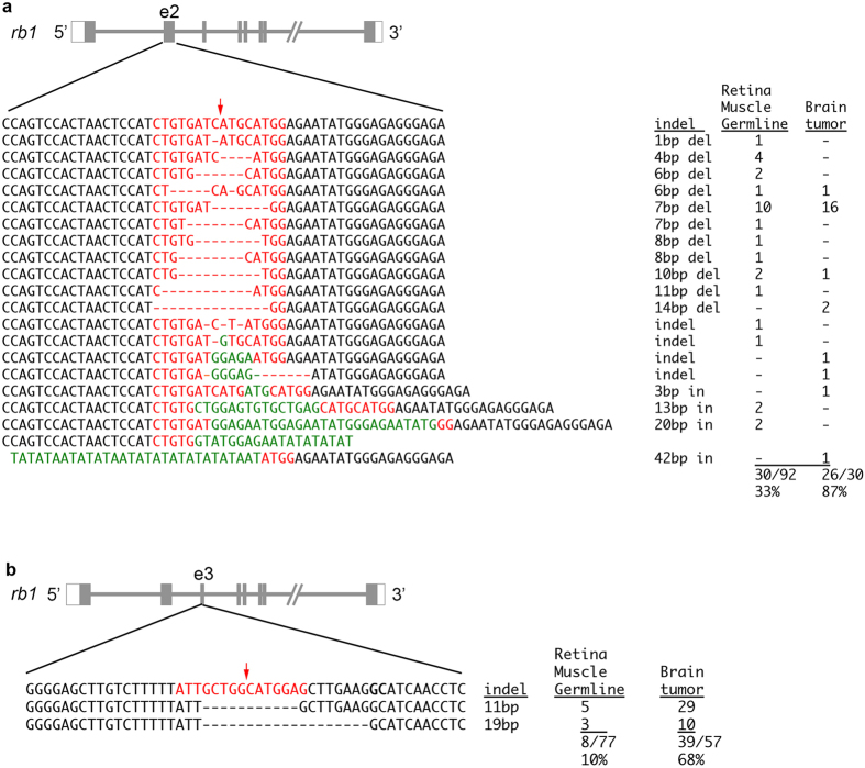 rb1 mutant alleles and allele frequencies in somatic, germline, and tumor tissues from adult genetic mosaic zebrafish. ( a ) 14 different indel alleles in rb1 exon 2 were identified in retina, muscle, and germline genomic DNA from two adults. Mutant alleles represented 33% of cloned <t>amplicons.</t> In tumor tissue 8 unique alleles were identified, representing 87% of cloned amplicons. ( b ) Two frameshift alleles that delete 11 bp and 19 bp in rb1 exon 3 were detected in two adults. 10% of sequenced clones were mutant in retina, muscle or germline tissue. In tumor tissue 68% of sequenced clones were mutant alleles. Red arrows mark TALEN cut site.
