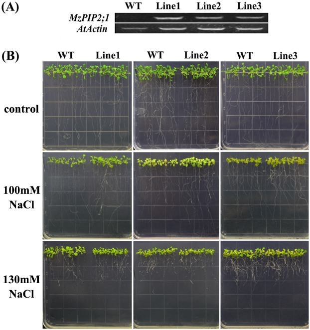 The phenotype of young transgenic Arabidopsis plants ectopically expressing MzPIP2;1 under salt stress. (A) The expression levels of MzPIP2;1 in three transgenic lines and wild-type by semi-quantitative RT-PCR, with the AtActin as internal gene; (B)The phenotype of three transgenic lines and wild-type under 100 NaCl and 130mM NaCl treatments. WT: wild-type.