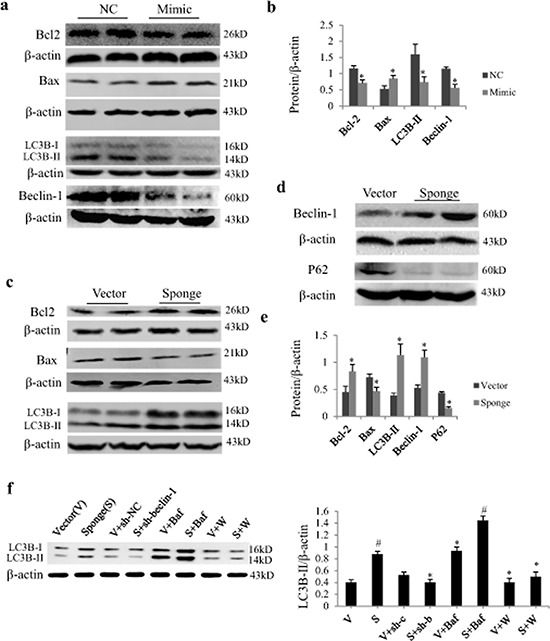 Effect of miR-497 mimic and sponge on the expression of Bcl2 and LC3B protein in neonatal rat cardiomyocytes (NRCs) a. NRCs were transfected with miR-497 mimic or negative control (NC). Western blot shows the effects of miR-497 overexpression on Bcl-2, Bax, LC3B-II and beclin-1. b. Quantitation for panel A. NRCs were transfected with miR-497 sponge or vector adenovirus. Western blot shows the protein expression of Bcl-2, Bax and LC3B-II c. beclin-1 and P62 d. which were significantly changed in miR-497 sponge-treated cells e, f. Western blotting of LC3B-II in NRCs treated with/without miR-497 sponge (S), vector (V), Ad-sh-beclin-1 (sh-b), Ad-sh-control (sh-c), bafilomycin A1 (Baf), <t>wortmannin</t> (W). Data are mean ± SEM, n = 5–7 for each group; for panel b and e, * P