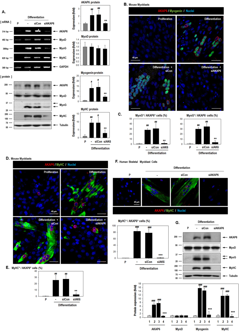 AKAP6 depletion decreases myogenin and MyHC levels and impairs myotube formation. ( A ) Inhibition of AKAP6 expression by using an AKAP6 siRNA was confirmed with RT-PCR and western blotting. C2C12 cells were transfected with a specific siRNA against AKAP6 and further incubated under differentiation conditions for 3 days. Quantification graphs for western blotting are shown. The expression was normalized to that of the proliferation group and shown as fold changes (n = 3 each, right). # p