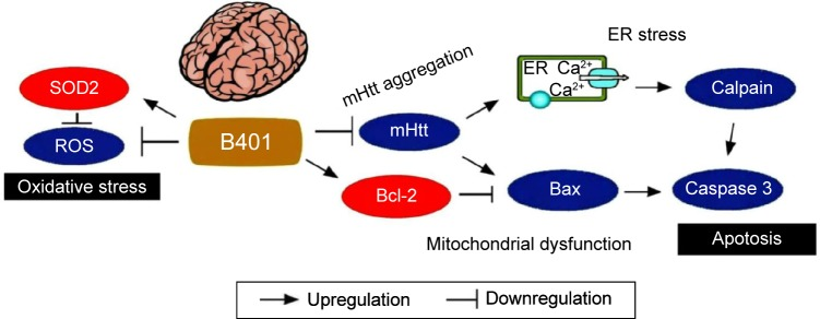The schematic diagram illustrates the possible neuroprotective pathways in the brain under oral B401 treatment. Oral B401 treatment may improve neuroprotection in R6/2 mice via enhancing anti-oxidative stress (marked by SOD2) and anti-apoptosis (marked by <t>Bcl-2),</t> while suppressing mutant huntingtin aggregation, ROS production, ER stress-related apoptosis (marked by calpain), and mitochondrial dysfunction-related apoptosis (marked by Bax and caspase 3) in the brain. Abbreviations: Bax, Bcl-2-associated X protein; Bcl-2, B-cell lymphoma 2; ER, endoplasmic reticulum; mHtt, mutant huntingtin; ROS, reactive oxygen species; SOD2, superoxide dismutase 2.
