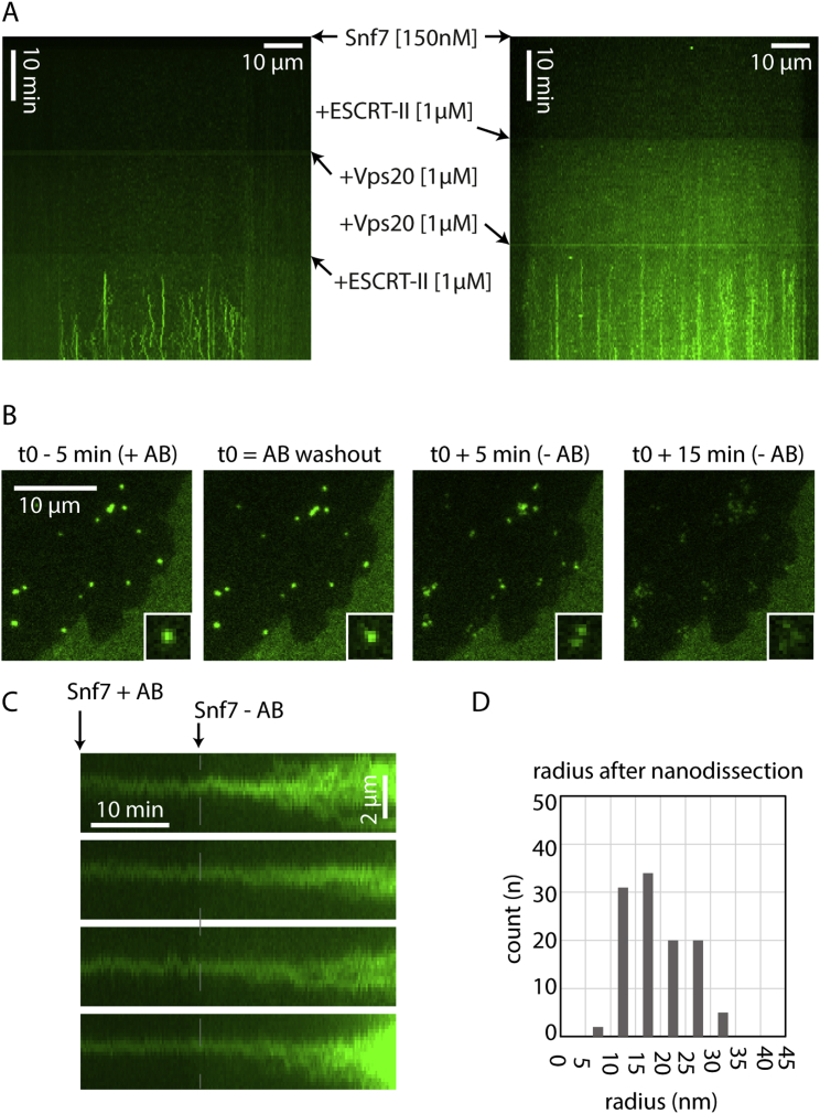 Nucleation and Disruption of Snf7, Related to Figure 4 All images are acquired with TIRF Microcopy. (A) Control of Snf7 polymerization induced by ESCRT-II and Vps20 proteins. Kymograph of a membrane slice over time. Fluorescents dots appear as lines when Snf7 nuclei are polymerized. Lines appear only when both Vps20 and ESCRT-II are present (both kymograph, lower panel). Snf7 and Vps20 without ESCRT-II (left kymograph middle panel) as well as Snf7 and ESCRT-II without Vps20 (right kymograph middle panel) do not nucleate Snf7 filaments. (B) Photobleaching induces breaks in Snf7 dotted structures. Snf7 dots are formed by incubation of Snf7 at 300 nM for 1 hr on DOPC 60% /DOPS 40% membrane. Snf7 is then washed out. Snf7 dots are subsequently imaged at a high frequency (1 fps) and under long exposure time and high laser power. When an antibleaching solution (AB) is present in the chamber, the dots remain intact (first and second image). However 5 min and 15 min after the antibleaching solution is washed out (third and fourth image), dots are disrupted into wider structures showing multiple maxima (see 2 × 2 μm insets for details). Structures located outside the imaged field of view are not affected by the removal of the antibleaching solution. (C) Photobleaching triggers patch formation from Snf7 dots. Compared to (B), Snf7 is maintained in the chamber at 300 nM throughout the experiment. In this case, the removal of the antibleaching solution (Snf7 - AB point of the kymograph) synchronously triggers the transition from Snf7 dots to patches. (D) Histogram of the Snf7 filament radius distribution after nanodissection (total of three experiments, see Figure 4 D).