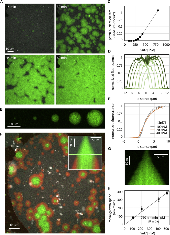 Nucleation and Growth of Snf7 Patches on Supported Membranes Lipid composition is DOPC 60% / DOPS 40%+ Rhodamine PE 0.1%. (A) Time-lapse images of Snf7-Alexa488 patches growth (green) at [Snf7] = 400 nM on supported membrane (gray). (B) Time-lapse images (every 10 min) of a single Snf7-Alexa488 patch (green) growing at [Snf7] = 200 nM. (C) Patch nucleation rate as a function of [Snf7]. (D) Successive (from bright to dark green, every 10 min) Snf7 patch fluorescence profiles (circularly averaged) at [Snf7] = 200 nM. (E) Snf7 patch edge fluorescence profile (average of 3 patches) as a function of [Snf7] (data for [Snf7]