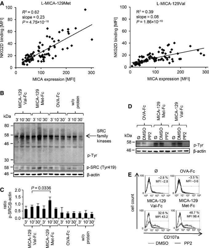NKG2D binding to the MICA-129Met and MICA-129Val isoform and triggering of phosphorylation of SRC family kinases The linear regression of MICA expression intensity and binding of a recombinant NKG2D-Fc fusion protein both determined as MFI by flow cytometry is displayed for L-MICA-129Met ( n = 79, left panel) and L-MICA-129Val clones ( n = 81, right panel). The coefficients of determination ( R 2 ), the regression coefficients (reg. coeff.), and the P -values for Pearson correlation are indicated. Purified IL-2-stimulated (100 U/ml for 4 days) NK cells (10 6 ) were stimulated with immobilized MICA-129Met-mIgG 2a -Fc or MICA-129Val-mIgG 2a -Fc or OVA-mIgG 2a -Fc fusion proteins (10 μg/ml) for 3, 10, or 30 min. The protein lysates of these cells were separated by SDS–PAGE, and the blot was probed subsequently with an anti-phospho-Tyr mAb, an anti-phospho-SRC family (Tyr419) kinases Ab, and an anti-β-actin mAb as a loading control. The arrow points toward phosphorylated SRC family kinases. Blots obtained from three independent experiments were analyzed by densitometry, and the means plus SD of the ratio between phospho-SRC family kinase and β-actin signals is displayed. The difference between NK cells stimulated for 10 min by MICA-129Met-Fc or MICA-129Val-Fc proteins was assessed by t -test. Purified IL-2-stimulated NK cells (100 U/ml for 4 days, 10 6 ) were incubated with the SRC kinase inhibitor PP2 (25 μM), the vehicle DMSO, or medium only (Ø) for 30 min before being added to immobilized MICA-129Met-Fc, MICA-129Val-Fc, or OVA-Fc fusion proteins (10 μg/ml) for 10 min. The protein lysates of these cells were separated by SDS–PAGE, and the blot was probed subsequently with an anti-phospho-Tyr mAb and an anti-β-actin mAb as a loading control. The blot is representative for two independent experiments. In parallel, degranulation of the NK cells was measured by anti-CD107a staining in flow cytometry. The difference between DMSO- and PP2-treated cells with respect to CD107
