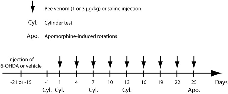 Time schedule for bee venom injections and behavioral testing in 6-OHDA lesioned rats. Time points at which 6-OHDA lesion and bee venom (1 μg/kg for BV1 group or 3 μg/kg for BV3 group) or saline i.p. injections were carried out. Note that bee venom or saline was given every 3 days, starting 15–21 days after the 6-OHDA injection. Cyl. and Apo. indicate time points at which rats were taken for the cylinder test (Cyl.) or apomorphine-induced rotations (Apo.), respectively. After the apomorphine-induced rotations test, all rats were killed for brain processing and analysis.