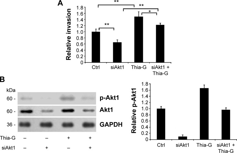 Akt1 silencing disrupts the promotion of O -GlcNAcylation on invasion of thyroid anaplastic cancer cells. Notes: ( A ) Akt1-silenced or -non-silenced 8305C cells were treated or untreated with 5 μM Thiamet-G (Thia-G) for 24 hours. Invasion assay in vitro was carried out. Error bars represent the mean ± standard error of the mean of three independent experiments, * P