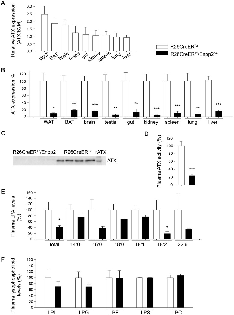 Tmx-induced (180 mg/kg PO) R26Cre-ER T2 -mediated genetic ablation of ATX results in diminished ATX levels in tissues and plasma. (A) Real-Time RT-PCR analysis of relative ATX mRNA expression levels in different tissues normalized to the expression levels of B2M. (n = 5–10; exp = 2; with the exception of BAT/WAT n = 4, exp = 1). (B) Real-Time RT-PCR analysis of ATX mRNA expression levels, normalized to the expression levels of B2M, in different tissues following Tmx-induced genetic ablation of the Enpp2 gene. (n = 5–10; exp = 2; with the exception of BAT/WAT n = 4, exp = 1). (C) Section from a western blot for ATX (4F1 Ab) in the plasma of the indicated mice. The full images, together with a coomassie brilliant blue staining of the same samples as loading control, and an alternate blot with a commercial antibody can be found at S7 Fig (D) Plasma ATX activity in the plasma of the indicated mice as determined with the TOOS assay on natural LPC substrates (n = 13–27; exp = 3). (E) Plasma LPA levels of the indicated mice as determined by HPLC-MS/MS (n = 9–13; exp = 2). (D) Plasma lysophospholipid (LPLs) levels remain unchanged as measured with HPLC-MS/ MS (n = 9–13; exp = 2). All values in every panel are means (± SEM) and are presented (except A) normalised (%) to control values.