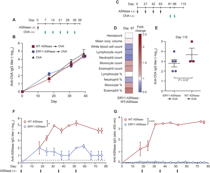 ERY1-ASNase treatment induces antigen-specific tolerance in a nontoxic and age-independent manner. ( A ) Mice were assessed for their capacity to respond to the irrelevant (nontolerized) antigen OVA after a single tolerogenic dose of ERY1-ASNase. ( B ) Time course of the development of anti-OVA total IgG in mice tolerized with 15 μg of ERY1-ASNase or WT ASNase and challenged with five weekly intravenous doses of OVA. ( C ) Mice were assessed for hematological parameters and for capacity to respond to the irrelevant antigen OVA after chronic intravenous administration with 15 μg of ERY1-ASNase or WT ASNase every 3 weeks for a total of four injections. ( D ) Hematological parameters at day 87 (data presented as ERY1-ASNase fold increase over WT ASNase; Student's two-tailed t test, P > 0.05 for all parameters, n = 3 to 5). ( E ) Quantification of end-point antigen-specific total IgG responses to a challenge with the irrelevant T cell–dependent antigen OVA ( n = 3 to 5, Mann-Whitney U test). ( F and G ) Time course of anti-ASNase IgG development in plasma of aged (27-week-old) mice receiving 15 μg of ERY1-ASNase or WT ASNase, represented as (F) log 10 titer ( n = 3 to 4, Mann-Whitney U test, * P